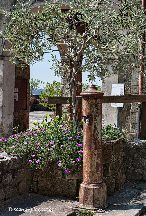 plaited olive tree Tuscany