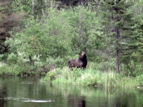 Moose on the edge of Saganaga Lake on the Gunflint Trail