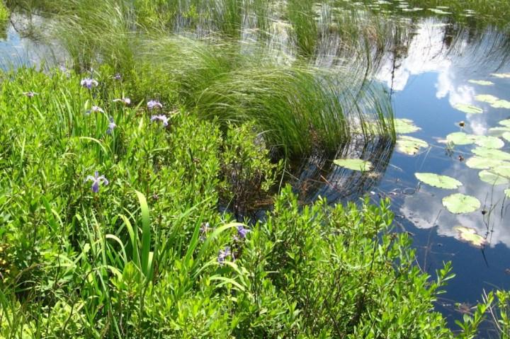 Iris on Flying Lake1