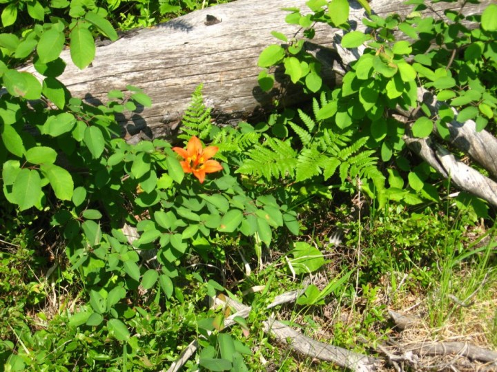 WoodLily