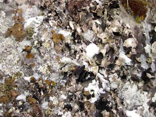 Tuscarora Lake cliff lichen