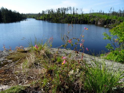 Corydalis on Granite River BWCAW campsite