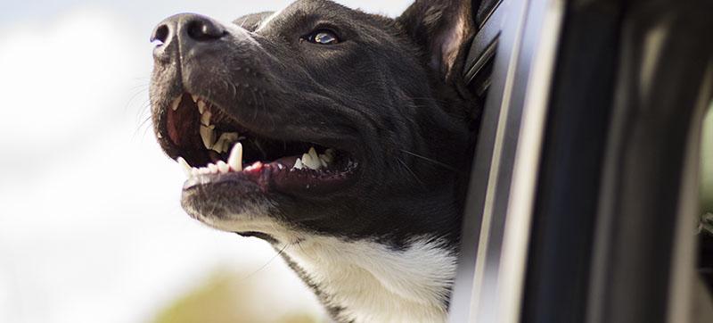 Viajar con mascotas en el coche