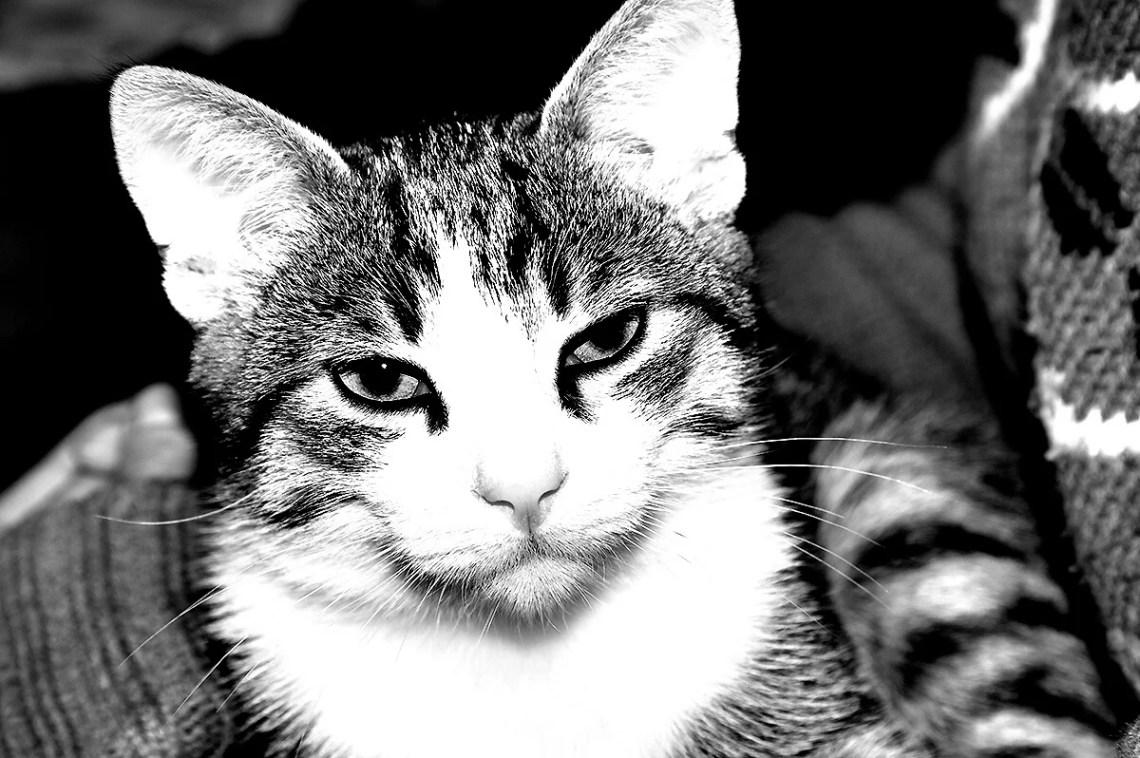 Il gatto Kikko in scala di grigio