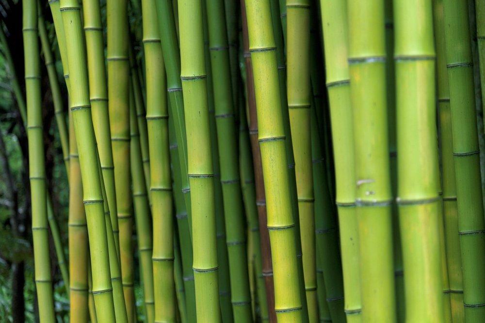 Come Coltivare Bambù In Giardino O In Casa Tuttogreen