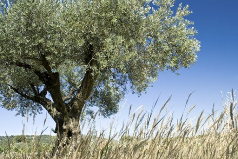 foglie di olivo2