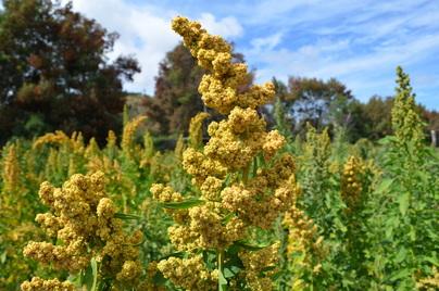 Quinoa Chile