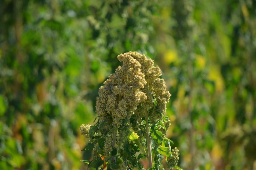 Quinoa, coltivazione, sementi