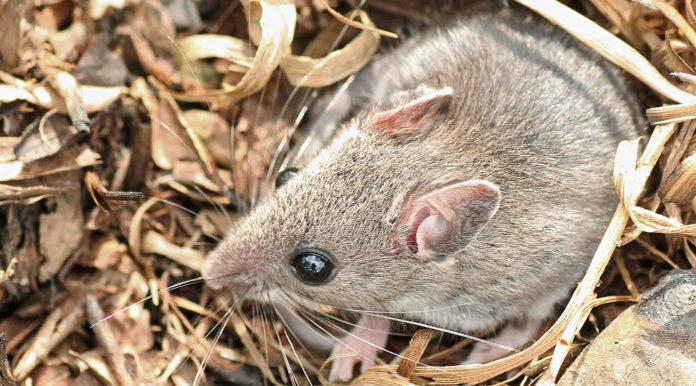 Pollaio Infestato Da Topi O Ratti Ecco Come Eliminarli