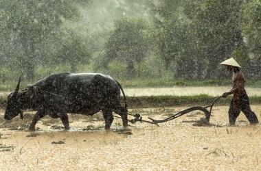 Bufalo in Vietnam