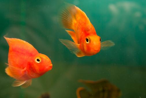 Pesci sequestrati perch stressati l 39 intruso for Dove comprare pesci rossi