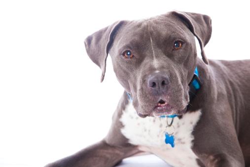 Pitbull, salvato veterinario doveva sopprimerlo