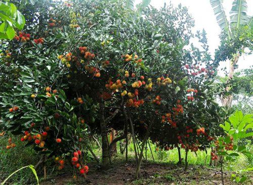 Vườn trái cây Long Khánh ở Đồng Nai (ảnh minh họa).