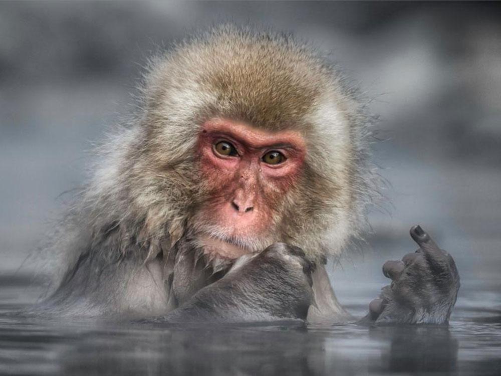 Mono mal educado