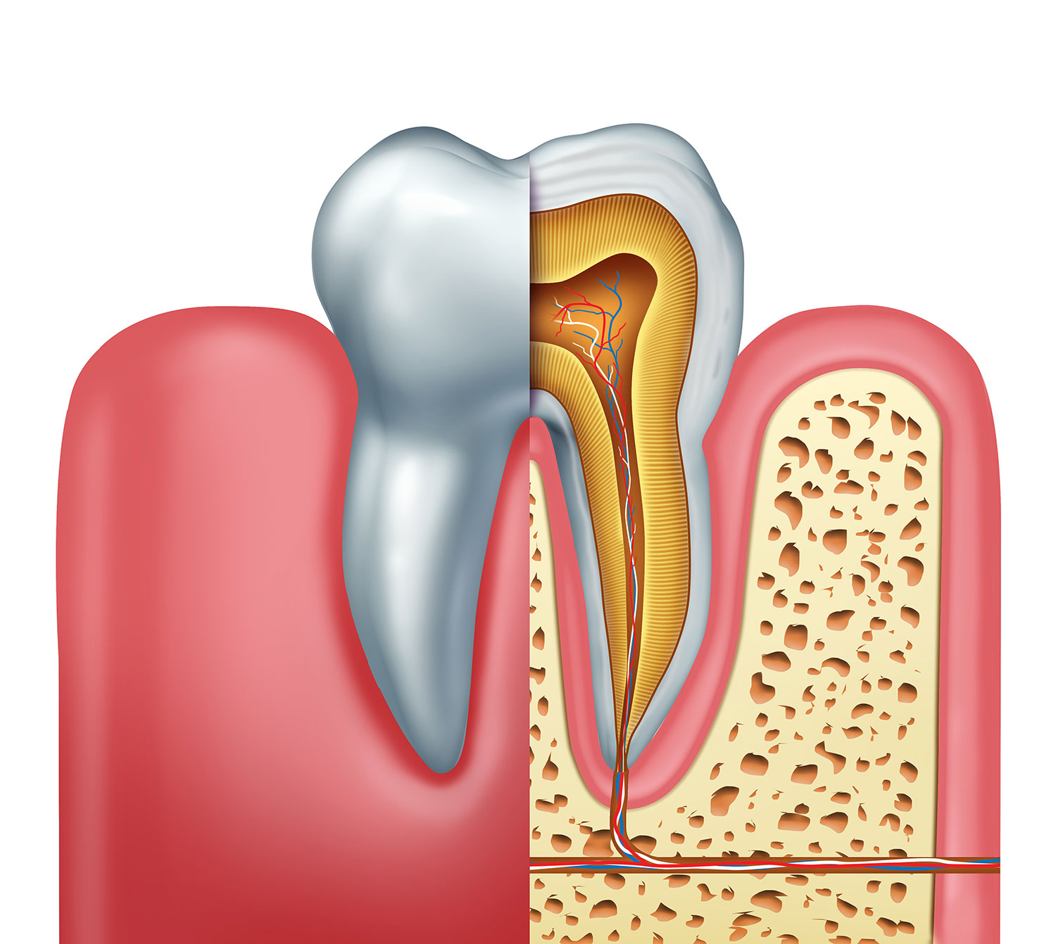 The Anatomy And Structure Of A Tooth