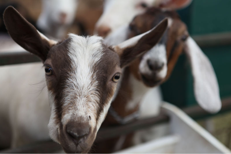 CBC's Year of the Goat spotlights the