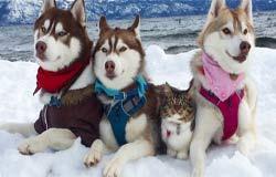 Τα τρία Χάσκυ που έσωσαν και υιοθέτησαν μια γάτα