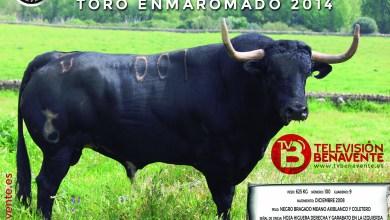 """Photo of """"BONARILLO"""" Toro Enmaromado 2014 de Benavente"""