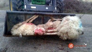 """Photo of """"Brutal"""" ataque de lobos registrado en las últimas horas en Palazuelo de Sayago"""