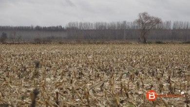 Photo of Benavente y los Valles afectados en un 26% en la siembra de cereal