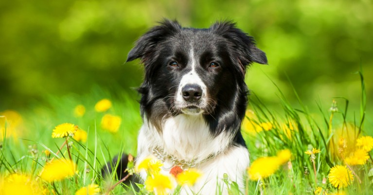 5 raças mais inteligentes de cachorro por Dr. Elaine Pessuto