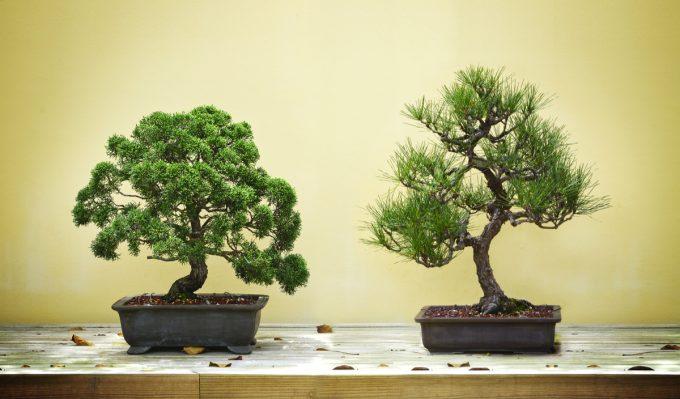 Como ter um bonsai sem gastar muito por Mac Donald Fernandes