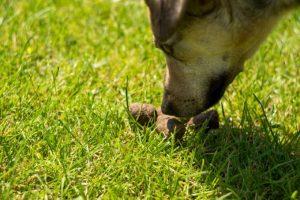 Meu cachorro come coco, e agora? por Dr. Renato Zaneti
