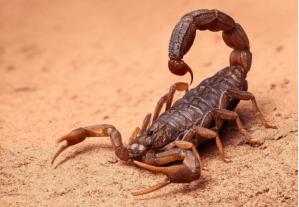 O perigo dos escorpiões em áreas urbanas por Lucia Schuller