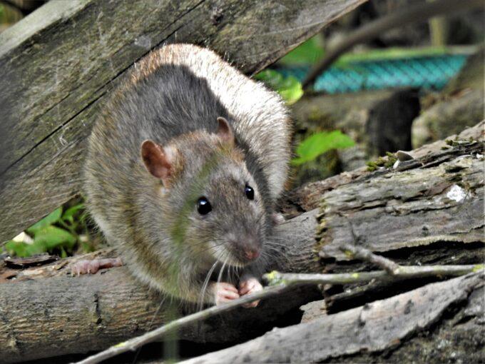 Ratos, cuidados e prevenções por Lucia Schuller