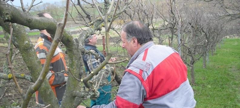 Vedieť správne strihať ovocné stromy je umenie