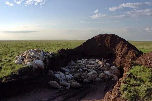 Pour empêcher tout croisement possible d'agents pathogènes provenant des saïgas mortes à d'autres espèces sauvages ou à des animaux domestiques, les équipes gouvernementales ont recueilli et enterré les carcasses de saïgas.