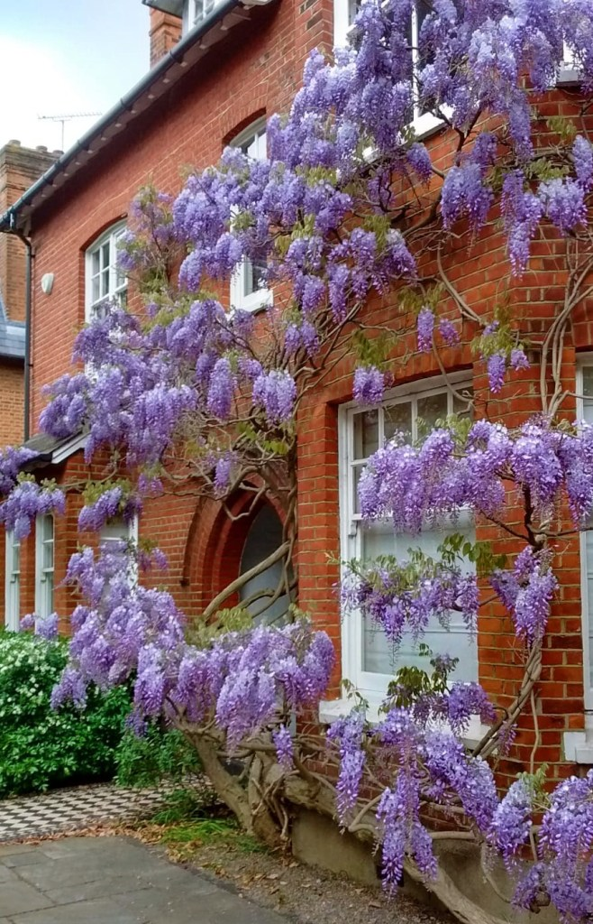 Magnificent Wisteria in April