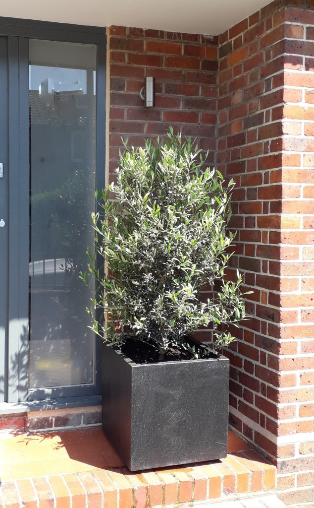Olive in feature pot