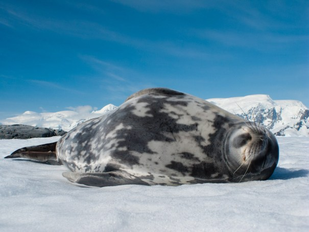 Weddell seal by .