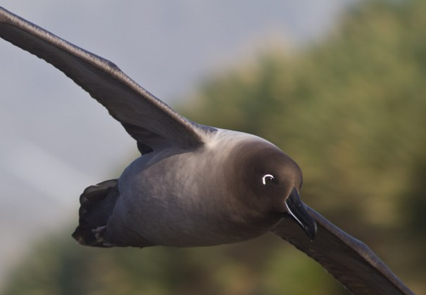 Light mantled sooty albatross by Christopher James Harris.