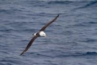 Black browed albatross by Christopher James Harris.
