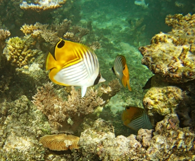 Thread Fin Butterfly Fish