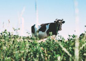 Crisi del latte ovino in Toscana, mobilitazione dei pastori