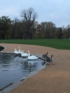 geese in Kensington Park