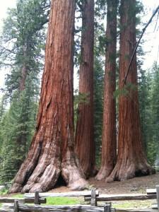 giant sequoias Muir woods