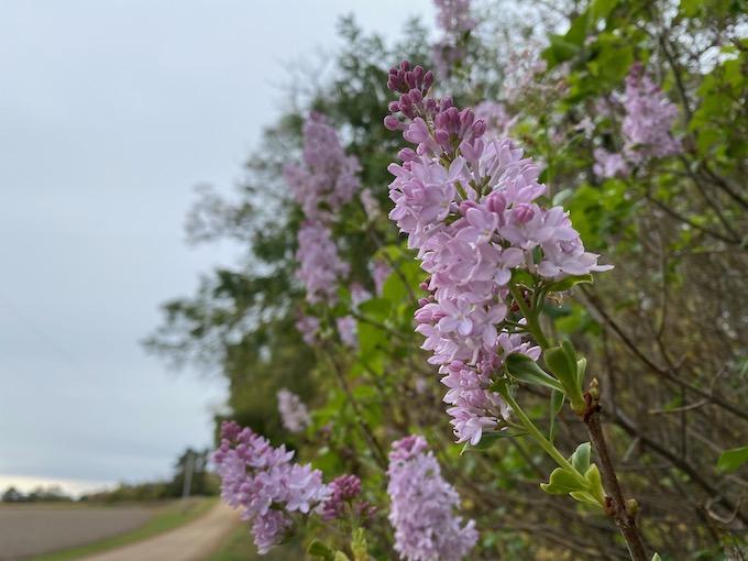 lilac bloom under stress