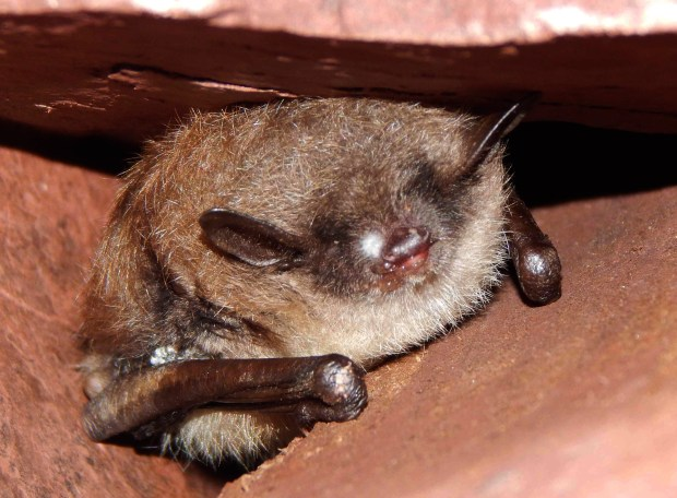 A bat in Soudan Mine showing signs of white-nose syndrome (WNS), a disease that is harmful and usually fatal to hibernating bats. Photo credit: Christine Salomon, University of Minnesota.