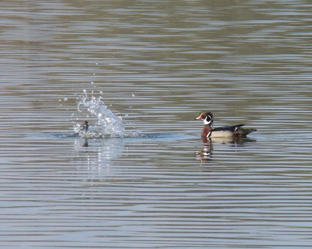 """See world ... Writes PAPA WHISKEY: """"Subject: Making a splash. I was snapping a picture of a wood-duck couple at Lake Como when the hen decided to make herself scarce. She timed her exit perfectly for this photo!"""""""