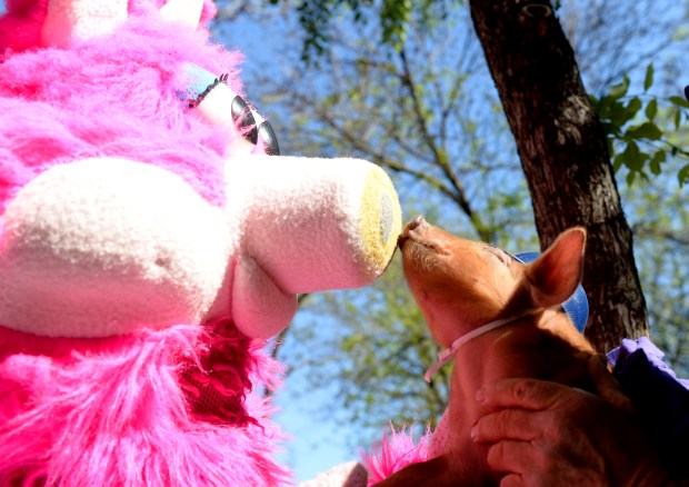 St. Paul Saints mascot Mudonna gets a kiss from her smaller counterpart Little Red Porkette at the Saints Block Party in St. Paul's Lowertown district on Wednesday, May 18, 2016. (Pioneer Press: John Autey)
