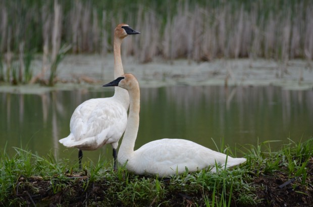 "See world ... Writes JIM SHUMAKER of New Richmond, Wis.: ""I hope your readers enjoy these beautiful trumpeter swans that were photographed in St. Croix County, Wisconsin."""
