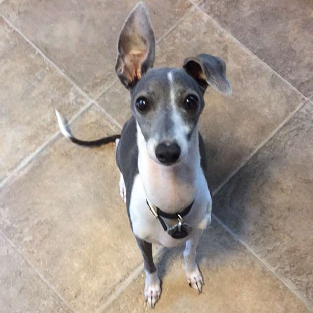 Jet, an Italian greyhound, is pictured before he was poisoned in St. Paul on July 29, 2016. He recovered. Kelsey Jurek found her dog, Jet, eating bread with rat poison baked into it in her St. Paul yard. Photo courtesy Kelsey Jurek.