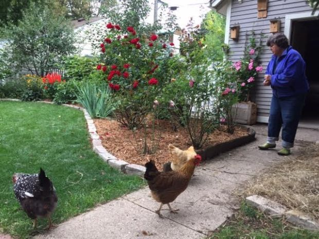 "Rebecca Wooden keeps three hens in her Como Park backyard. The eggs are great, she said, but she also enjoys the liveliness and color they provide. ""I'm enjoying getting in touch with my inner farmer,"" she said. (Pioneer Press: Will Ashenmacher)"