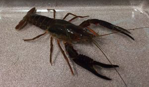 Red swamp crayfish are considered an invasive species. (Minnesota Department of Natural Resources)