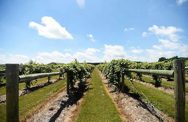 Grapevines cover nearly 12 acres at Alexis Bailly Vineyard in Hastings. (Pioneer Press: Holly Peterson)