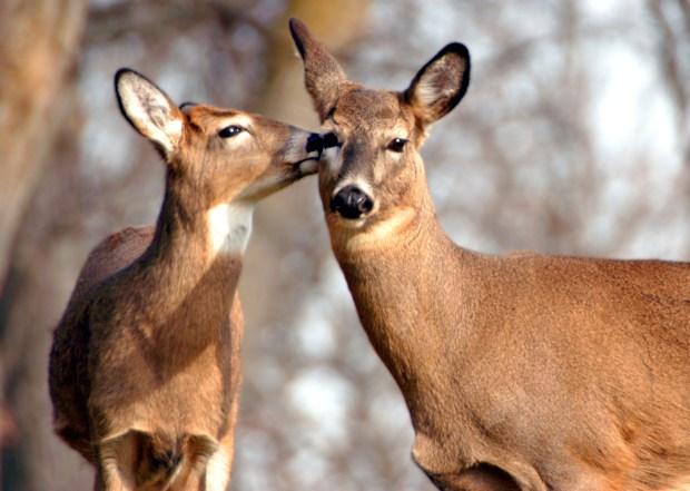 A juvenile deer licks a doe at Theodore Wirth Regional Park in Nov. 2005. (Pioneer Press: Scott Goihl)